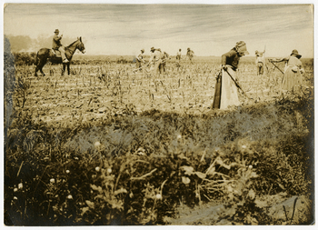 Hoeing sugar cane - overseer on the mule